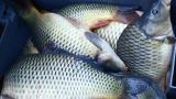 Невероятно, но факт: Риба причини страшна катастрофа СНИМКИ