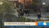 Глутница безнадзорни кучета вилнее из улиците на Перник
