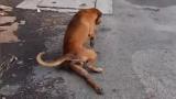 Куче се преструва, че има счупен крак, за да му дадат храна (ВИДЕО)