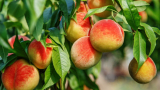 Този плод е здравословната бомба за имунитета ни