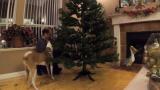 Куче помогна на стопанина си да украси елхата ВИДЕО