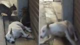 Смях! Как реагира спящо куче на котешки бой ВИДЕО