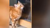 Дресирана котка покори интернет ВИДЕО