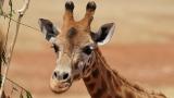В Бали се роди жирафче, което кръстиха Корона СНИМКИ