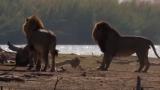 Заснеха тричасов бой на лъвове, слонове и хипопотами ВИДЕО
