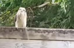 Кукабара изяде змия пред камера (ВИДЕО)